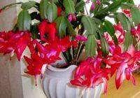 Ziemassvētku kaktuss būs pilns ziediem, ja sekosi šiem noteikumiem